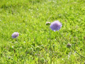 Cornflowers at Silchester