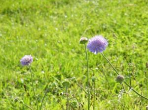 Cornflowers at Silchester