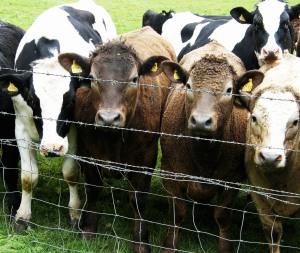 Silchester cows
