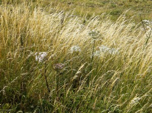 long grass at Silchester