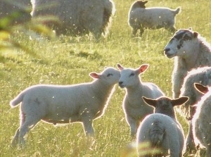 Lambs in golden sunlight