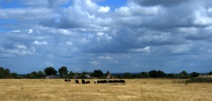 Cows grazing at Silchester