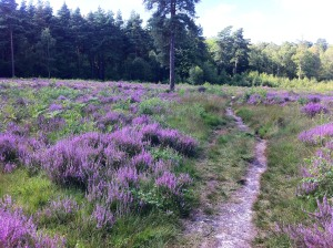 Heathland with heather at Simons Wood
