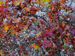 Horse chestnut tree in autumn