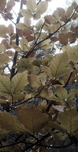 Brown leaves