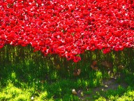 Tower poppies 11