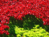 Tower poppies 12