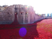 Tower poppies 19