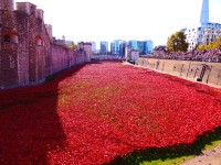 Tower poppies 20