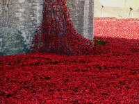 Tower poppies 3