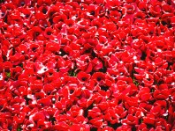 Tower poppies 7