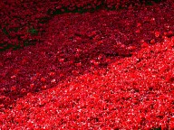 Tower poppies 9