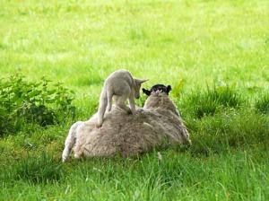 Sheep 23
