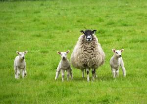 Sheep 37