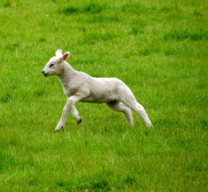 Sheep 39