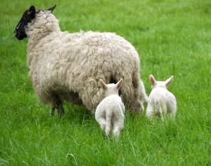 Sheep 4