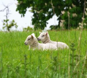 Sheep 64