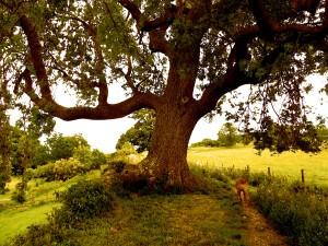 Oak sepia