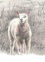 Lamb study 4