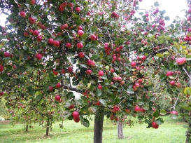 Abbey apples