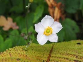 White anenome