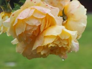 Chalice garden rose