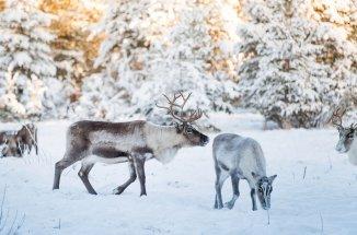 reindeers_1512x