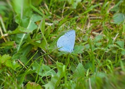 Holly blue.jpg